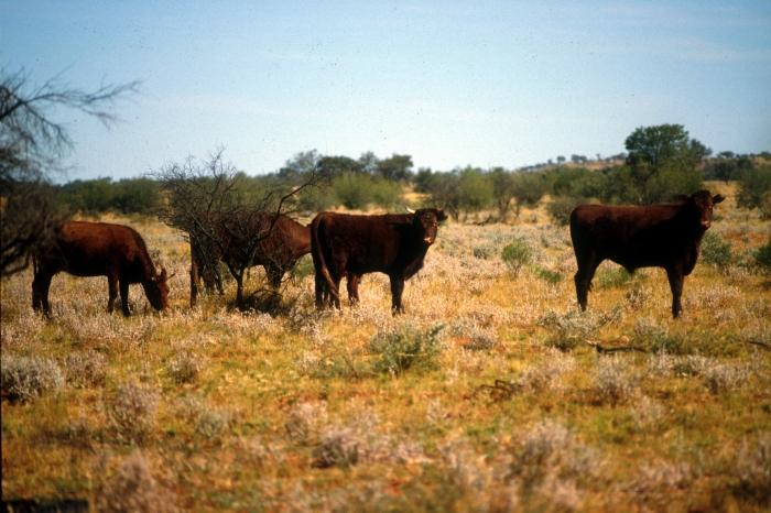 CSIRO_ScienceImage_1676_Cattle_in_field